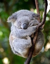 koala7