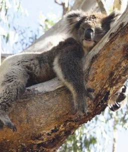 Koala_Sleeping_on_Branch