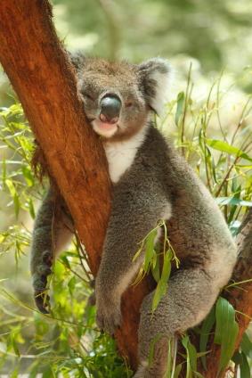 koalabreak