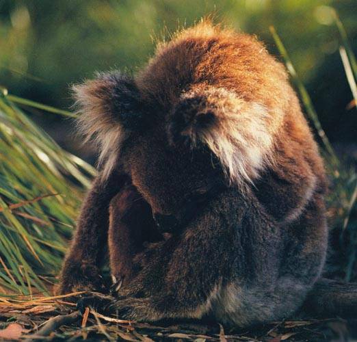 koalaface