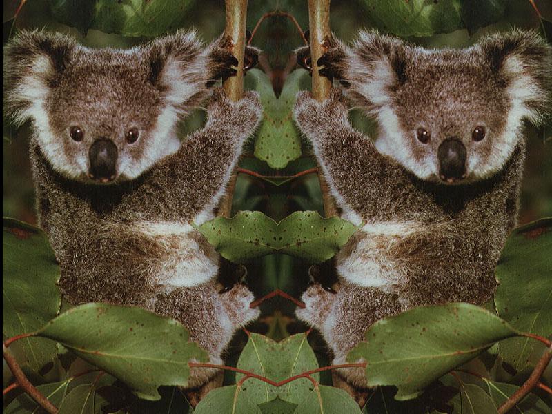 koalatwins